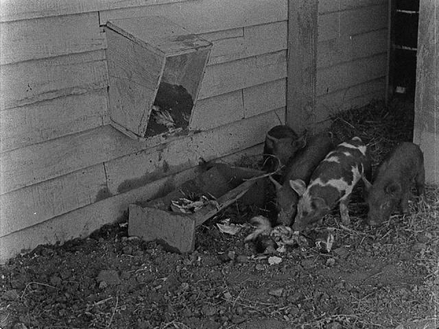 Scarecrow (pigs 01)